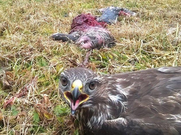 Nález otrávené vydry říční a káněte lesního u Horních Radslavic vyšetřuje Policie České republiky. Neznámý pachatel se dopustil obecného ohrožení.