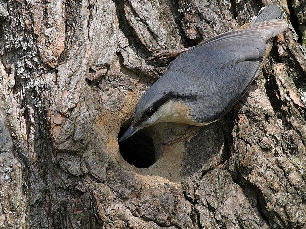 Vzdělávací centrum v Křižánkách zaplní kolem tří desítek ptačích hnízd. Další ptačí obydlí, vejce, mláďata i dospělé opeřence spatří návštěvníci na fotkách a kresbách.