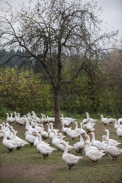 Husí farma v Meziboří u Dolní Libochové.