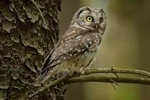 Malé sovičky vyhledávají k hnízdění jehličnaté i listnaté lesy. Obývají obvykle dutiny stromů, ale nepohrdnou ani zavěšenou budkou. Dříve bylo sýce rousné možné zahlédnout především ve vyšších polohách, postupně se ale zabydlují i níže.