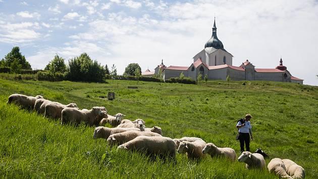 Jako za starých časů: Ovce spásají trávu v okolí žďárské Zelené hory