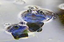 Samečci skokana ostronosého se v době námluv barví do modra.