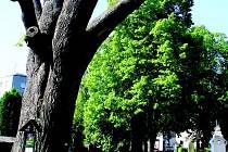 Stará lípa na novoměstském hřbitově je nemocná. Radní teď řeší, zda strom porazit.