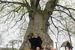 Lípa u Chobotského dvora v Kuklíku se bude ucházet o titul Strom roku.