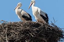 Hnízda čápů v Kraji Vysočina se po několika měsících opět plní.