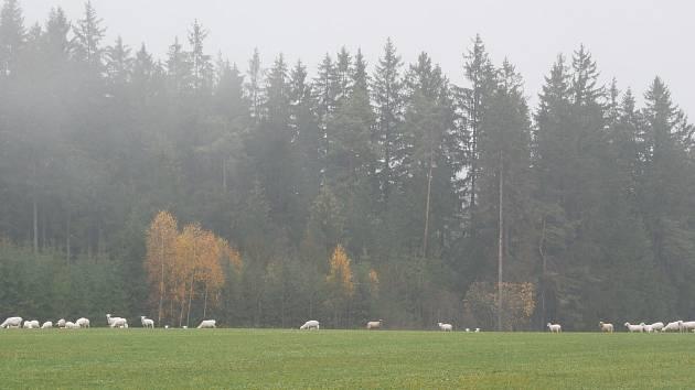 Ovčí pastvina na Žďársku.