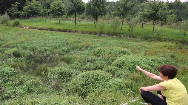 Fickův rybník v katastru obce Pokojov byl zařazen do smluvně chráněných evropských vodních lokalit. Jak je z fotografie patrné, ztratil vodu. Tím je ohrožen evropsky významný výskyt čolka velkého.