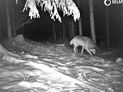 Šelmu zaznamenala fotopast umístěná v lesích Žďárských vrchů. Že jde skutečně o vlka potvrdily i další pobytové znaky zvířete.