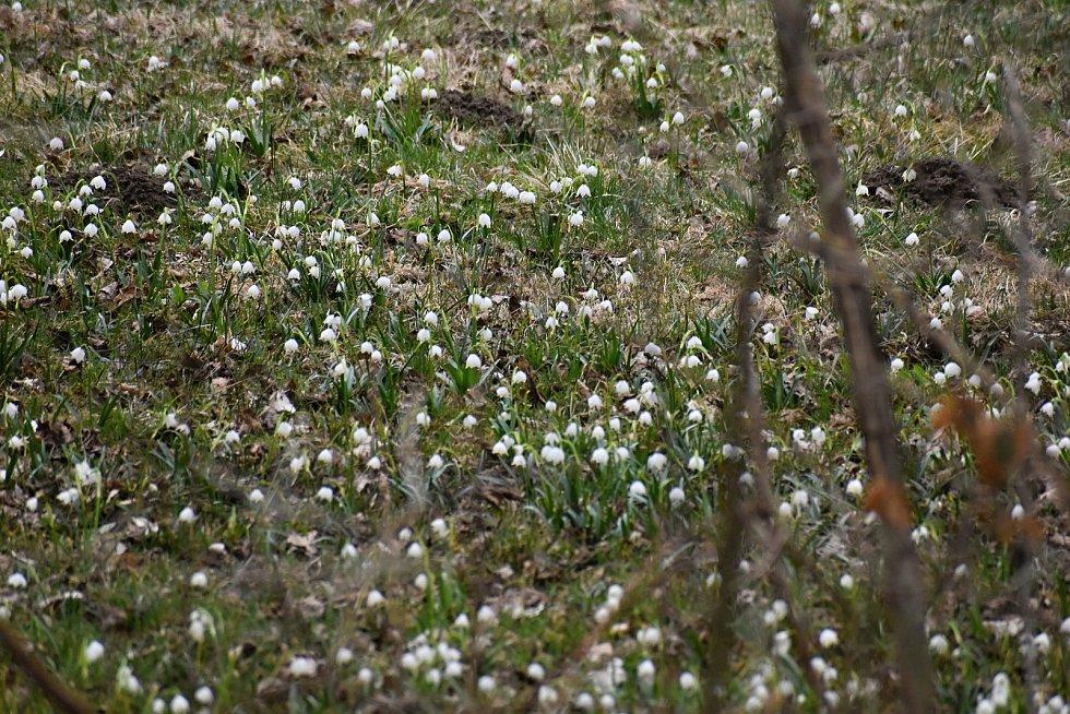 Přírodní památka Světnovské údolí bývá na jaře jednou z nejnavštěvovanějších lokalit.