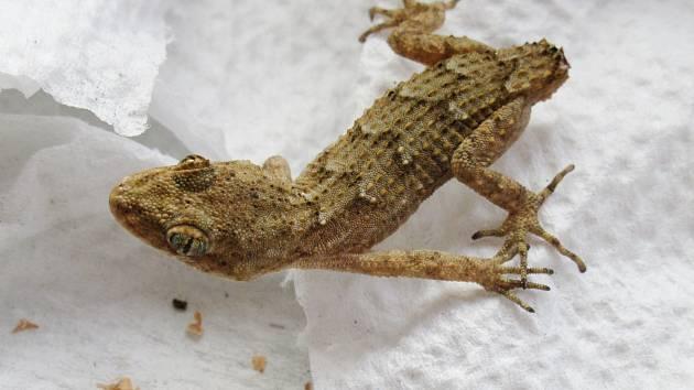 Ve žďárském supermarketu našli mezi zbožím gekona
