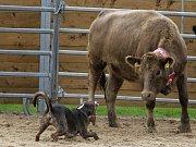 Louisianský leopardí pes se používá především pro práci s dobytkem.