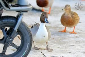 Ostralka štíhlá je mezi ostatními kachnami snadno rozpoznatelná.