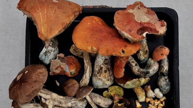 V Moravci u Brožů na Žďársku nemají o houby nouzi.