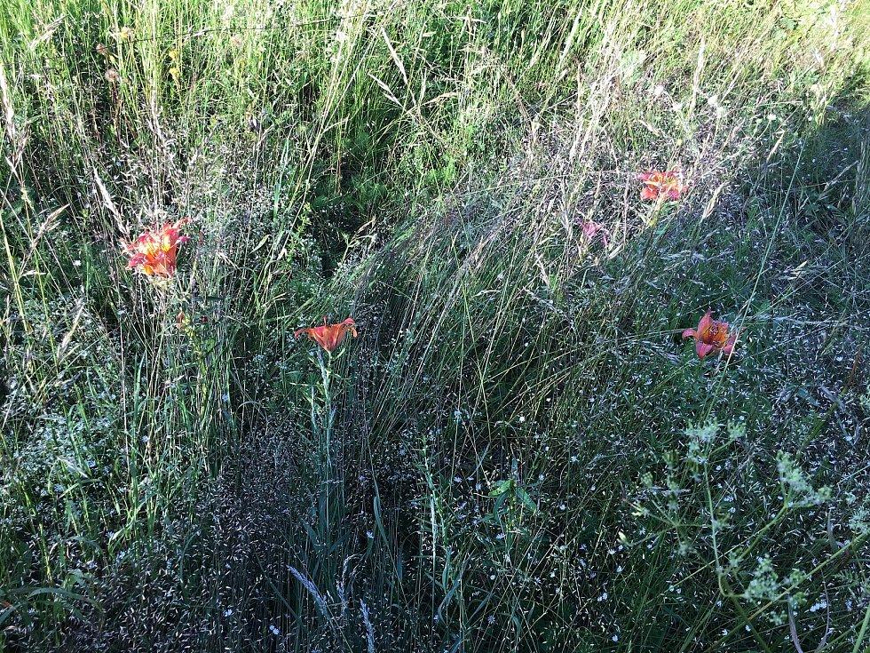Lilie cibulkonosná se v trávě rozhodně neztratí.