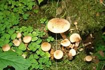 Lesy na Vysočině jsou plné hub. Jedlých i těch nejedlých.