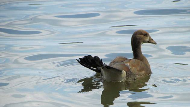 Vody rybníku horňáku brázdí i husice s andělským křídlem.