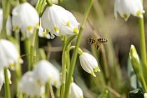 """Bledule jarní patří mezi časně kvetoucí rostliny. V několika lokalitách Žďárských vrchů vytváří unikátní bílé """"koberce"""", které lákají k návštěvě tisíce lidí."""