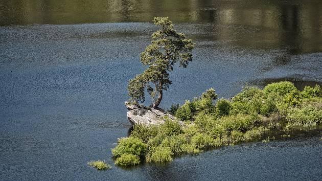 Chudobínská borovice vede. Může se stát prvním Evropským stromem z Česka