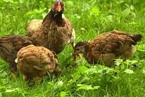 Na chovatelské přehlídce ve Velké Losenici nikdy nechybí drůbež. Lidé letos také uvidí, jak se líhnou kuřata.