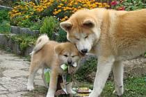Akita Inu je velké a tvrdohlavé plemeno s nízkým prahem bolestivosti a smečkovou dominancí. Používá se jako pes strážní, canisterapeutický i záchranářský.