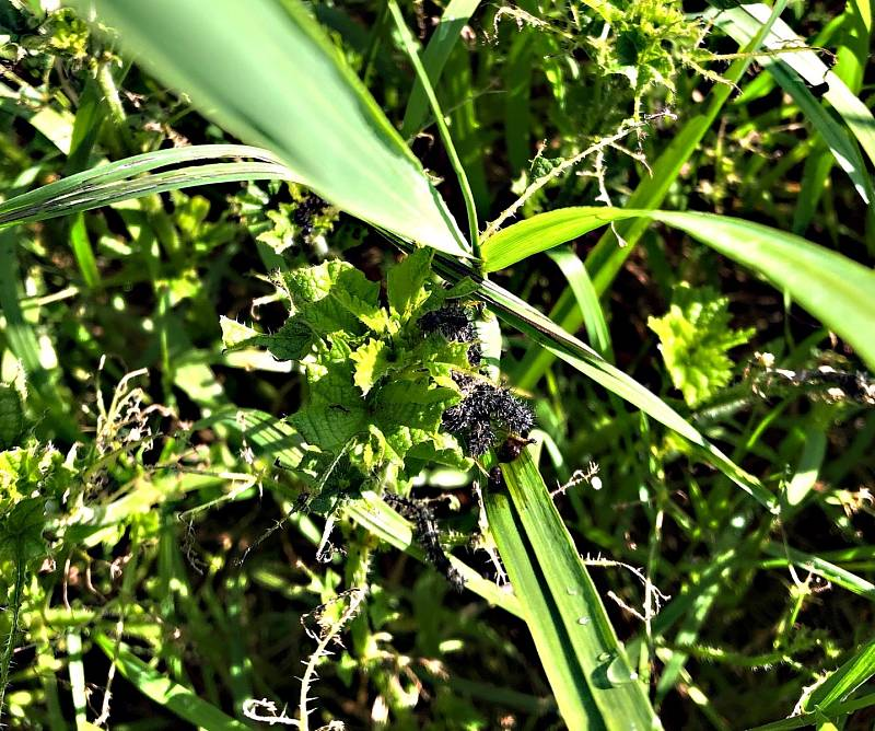 Během pár dní housenky z přírody zmizí. Motýla čeká další vývojová etapa, tentokrát v podobě kukly.