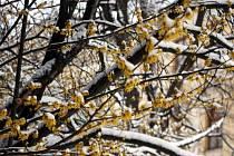 Žluté střapaté květy, které se nedají zastrašit sněhem, jako by své okolí pozlatily. V bývalé botanické zahradě u novoměstského gymnázia rozkvetl vilín virginský.