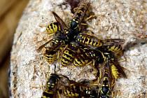 Podle zoologa ze Správy CHKO Žďárské vrchy Petra Mücksteina je ale zvýšený výskyt vos v tomto období normální jev.