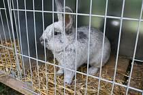 Do Velké Losenice se sjeli chovatelé drobného zvířectva z České i Slovenské republiky. K vidění jsou králíci, drůbež, holubi a morčata.