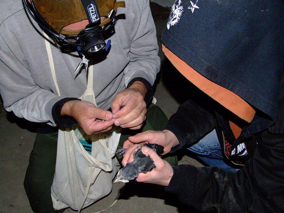 Zhruba třicet žďárských mláďat kavky obecné nalezených ve dvou desítkách hnízd dostalo v pátek kroužek. Podle něj mohou ochranáři později zjistit i informace o migraci kavek.