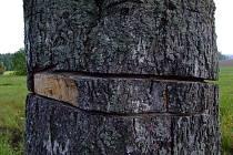 Pětadvacet stromů podél silnice II/354 mezi novoměstskými místními částmi Hlinné a Petrovice někdo loni v prosinci motorovou pilou po celém obvodu nařezal.
