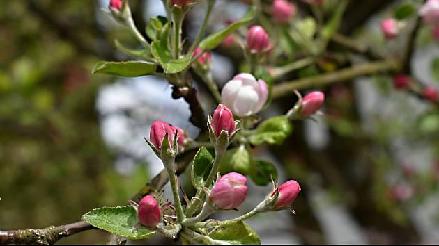Kdysi bývalo ve Spělkově hodně starých odrůd jabloní, teď už se pomalu vytrácí.