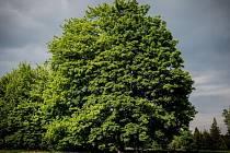 Sto třicet let starý javor klen z Fryšavy byl loňským kandidátem na Strom roku.