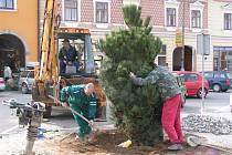 Hned ve středu začal dodavatel úprav sázet nové borovice. Výměna borovic má být dokončena ještě před oslavami svátku práce 1. května.