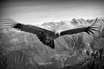 Kondor andský majestátně přelétává nad kaňonem Colca.