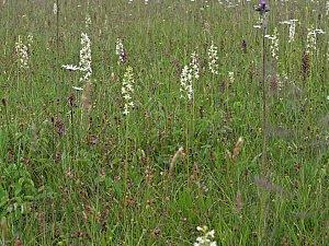 U Vojnova Městce rozkvetly vzácné orchideje