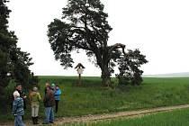 Smírčí borovice má v národním kole jedenáct soupeřů. Vítězný strom bude vyhlášen 21. října a získá zdarma odborné ošetření.