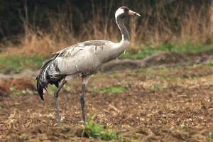 Jeřáb popelavý je nápadný pták s dlouhýma nohama a štíhlým krkem.