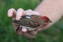Devět samců hýla rudého ze Žďárských vrchů má nyní na zádech geolokátor, jenž bude zaznamenávat jejich cestu na zimoviště. Zařízení má odhalit, kde vlastně tito ptáci zimují.