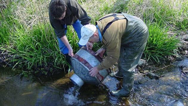 Mladé ryby pocházejí z výtěru tehdy nasazených střevlí.