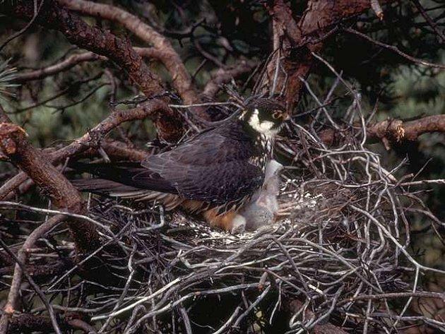 Ostříž lesní patří mezi nejvzácnější dravce hnízdící v Chráněné krajinné oblasti Žďárské vrchy. Ilustrační foto.