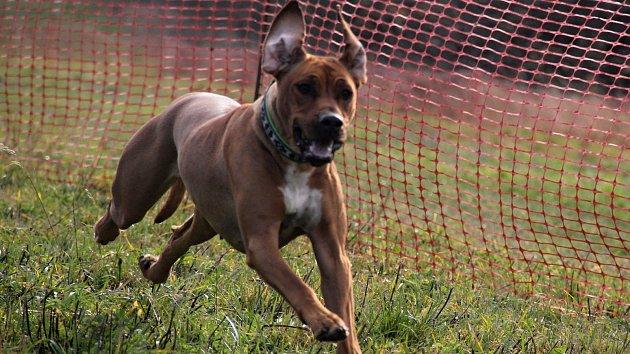 Studnice hostily psí závody. Na start se postavili ridgebackové i bulíci
