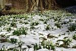 Bílý koberec bledulí na Bystřicku