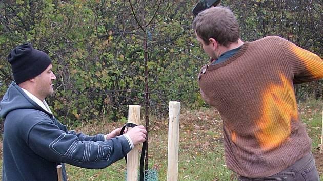 Celkem jednapadesát stromů nedávno vysázeli žďárští ochranáři ve spolupráci s veřejností v obcích Krátká, Samotín a ve Štursově sadě nad Vříští.