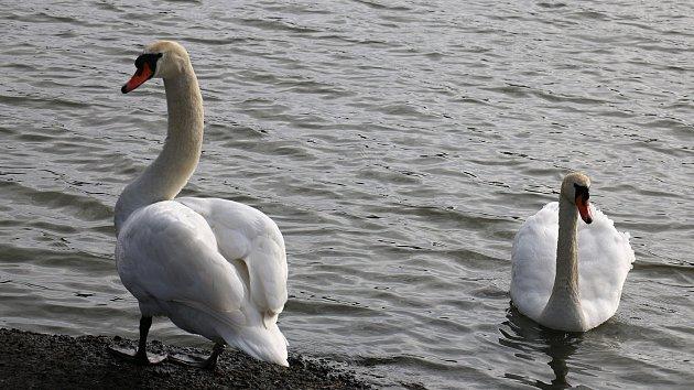 Vedle rušné křižovatky žije párek labutí