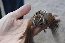 Území meandrující Svratky u Milov zvané Rychtářky je cennou ornitologickou lokalitou. Na rozloze šedesáti hektarů zaznamenali ornitologové od roku 1993 celkem osmdesát ptačích druhů, z nichž se jim podařilo v průběhu let už padesát sedm druhů okroužkovat