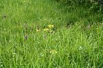 Prstnatec májový je první orchidejí, která začala kvést.