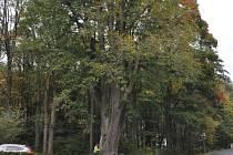 Jimramovská lípa má 230 let a věk se podepsal na jejím současném špatném zdravotním stavu. Ošetří ji proto odborník.