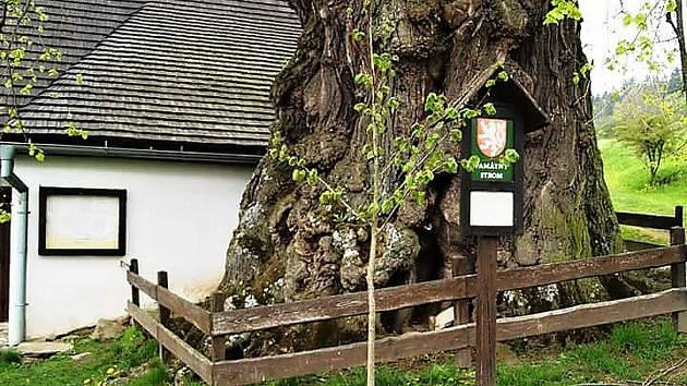Mladý strom poroste v britském Bristolu.