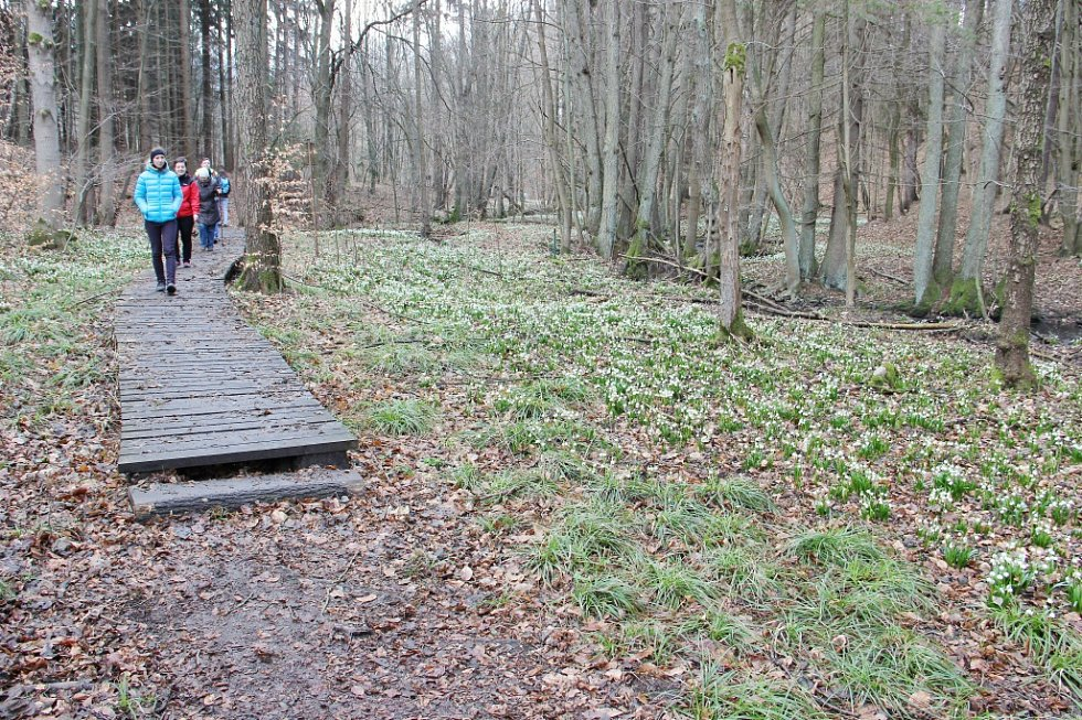 Koberce bílých květů podél Chlébského potoka na rozhraní Bystřicka a Nedvědicka přitahují každý rok v březnu davy zvědavců ze všech koutů republiky.