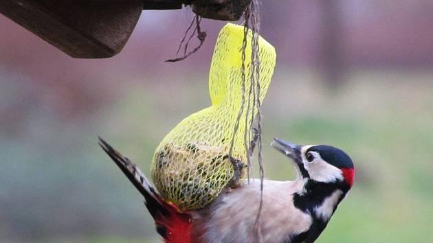 Přestože je mírná zima, ornitologové apelují na lidi, aby nepřestávali sypat do krmítek.